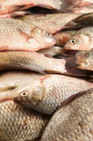 Fresh carp fish Royalty Free Stock Photo