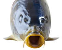 Fresh carp fish closeup Stock Photo