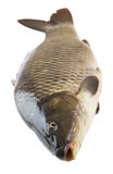 Fresh carp fish closeup Stock Photography