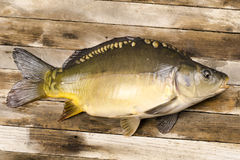 Fresh carp fish Royalty Free Stock Images