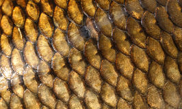 Fresh carp fish scales texture Stock Photo