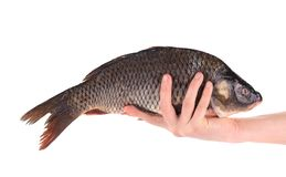 Fresh carp in man hand. Royalty Free Stock Photo