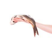 Fresh carp in man hand. Stock Photography