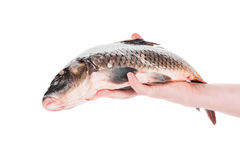 Fresh carp in man hand. Royalty Free Stock Images