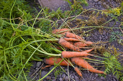 Fresh carrot Stock Images