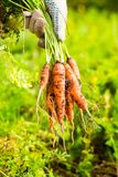 Fresh carrot bunch in hands in protective gloves stock photography