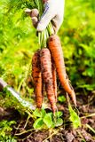 Fresh carrot bunch in hands in protective gloves. Selective focus Royalty Free Stock Photos