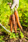 Fresh carrot bunch in hands in protective gloves royalty free stock photos