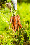 Fresh carrot bunch in hands in protective gloves royalty free stock image
