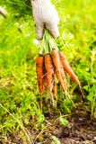 Fresh carrot bunch in hands in protective gloves royalty free stock images