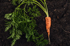 Fresh carrot on the soil background Royalty Free Stock Photo