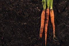 Fresh carrot on the soil background Stock Photos