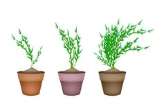 Fresh Carrot Trees in Ceramic Flower Pots Royalty Free Stock Photos