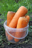 Fresh carrots in a bucket Stock Images