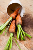Fresh carrots bunch and bucket Royalty Free Stock Photography