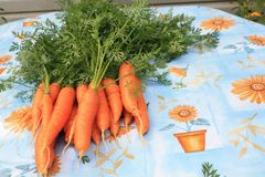 Fresh Carrots Stock Image