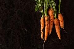 Fresh carrots on dark soil background texture Stock Images