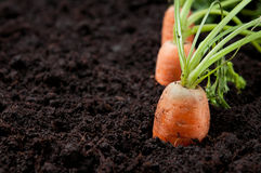 Fresh carrots in earth Royalty Free Stock Photos