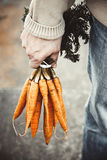 Fresh carrots in farmers hands Stock Photos
