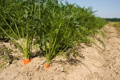 Fresh carrots on field Stock Image