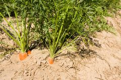 Fresh carrots on field Royalty Free Stock Photos