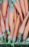 Fresh carrots from the garden Royalty Free Stock Photography