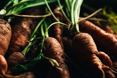 Fresh carrots from the garden close-up on a wooden background Stock Images