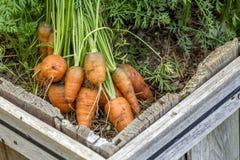 Fresh carrots in the garden. Stock Photo