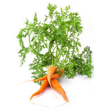 Fresh carrots with green tops Stock Image