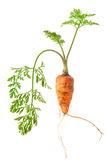 Fresh carrots with green tops Royalty Free Stock Photo