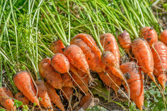 Fresh carrots on ground Stock Images