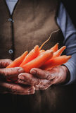 Fresh carrots in hand Royalty Free Stock Image