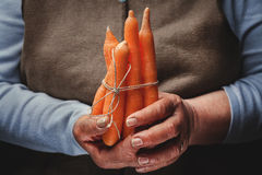 Fresh carrots in hand Stock Photography