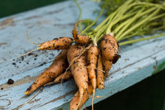 Fresh carrots just picked up from bed Royalty Free Stock Image