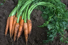 Fresh carrots and leaves Stock Image