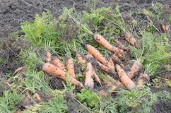 Fresh carrots with leaves at ground in heap royalty free stock photos