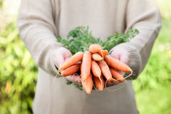 Fresh carrots. Organic vegetables. Healthy food. Fresh organic carrots in farmers hands royalty free stock image