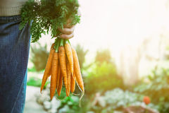 Fresh carrots Stock Images