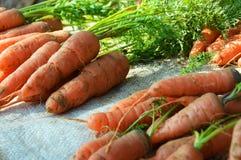 Fresh carrots. Pile of fresh carrots on stalks Stock Image