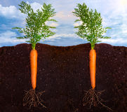 Fresh Carrots. Side view of two carrotss with the roots in the ground Royalty Free Stock Photography
