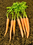 Fresh Carrots on Soil Stock Photo