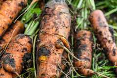 Fresh Carrots. Some fresh harvested carrots on the ground Royalty Free Stock Photos