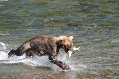 Fresh Catch 2. A brown bear running with his salmon in hopes that a bigger bear will not take it away his lunch Royalty Free Stock Photography