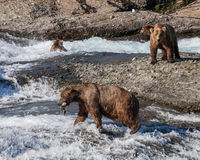 Fresh catch. A bear walks away from the other bears with his catch, at McNeil River falls in Alaska Stock Photography
