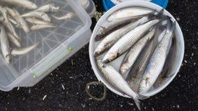Fresh Catch from Bosphorus Strait Stock Photography