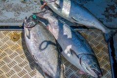 Fresh Catch Chinook Salmon stock photos