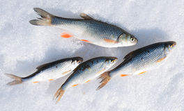 Fresh catch - chub and roaches Royalty Free Stock Photos