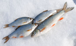 Fresh catch - chub and roaches Royalty Free Stock Photo