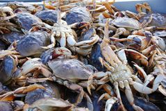 Fresh catch of crab. Fresh catch of Dungeness crab at Pier 39, San Francisco stock image