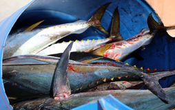Fresh catch of the day Tuna in Los Cabos Mexico Stock Photos